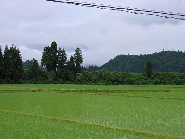 雨上がりの魚沼の田んぼ