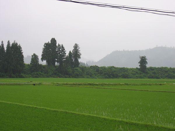 今朝は雨降りで田んぼの向こうの山が霧に包まれています