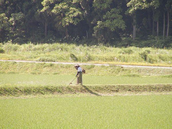 田んぼでは畔の草刈りをしている人がいます