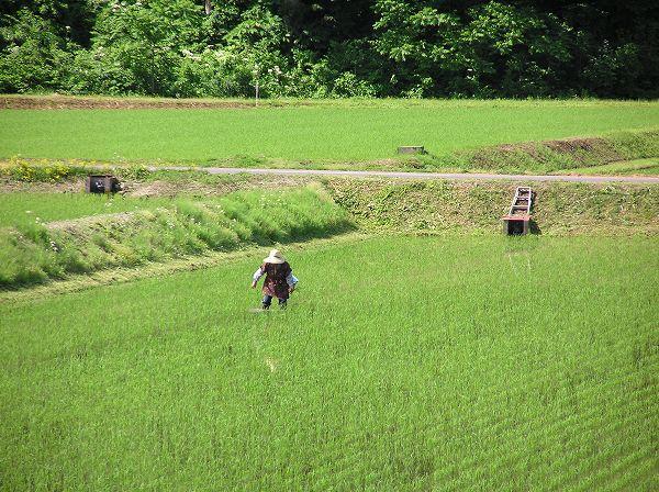 田んぼでは手作業で苗を植え直している人がいます