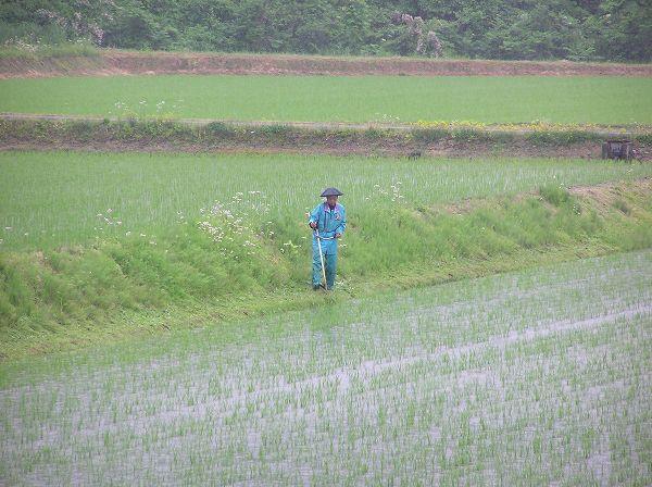 雨の中の田んぼの畦の草刈り