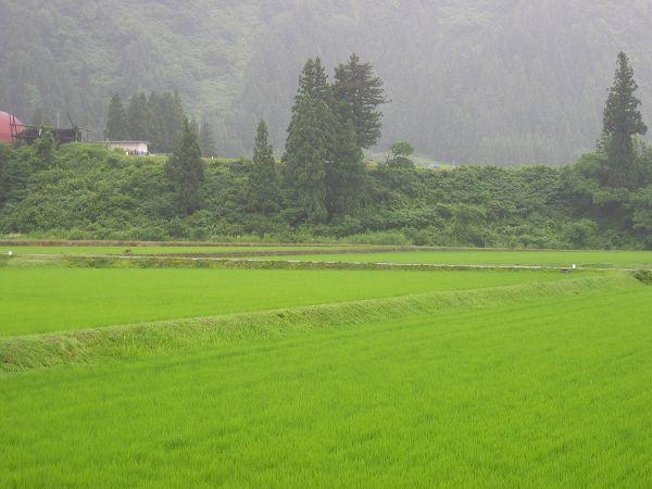 魚沼産コシヒカリの田んぼでは朝からずっと雨が降り続いてます