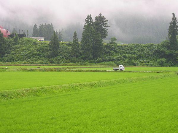 今朝の魚沼産コシヒカリの田んぼは雨降りで蒸しています