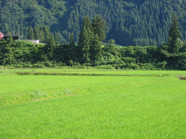 魚沼産コシヒカリの田んぼはすっかり真夏の暑さになりました