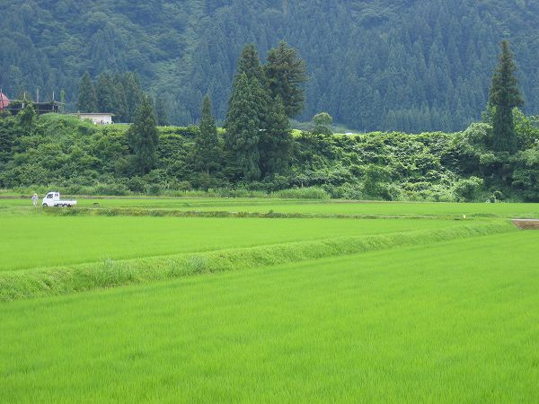 今日も魚沼産コシヒカリの田んぼは夏本番の暑さです