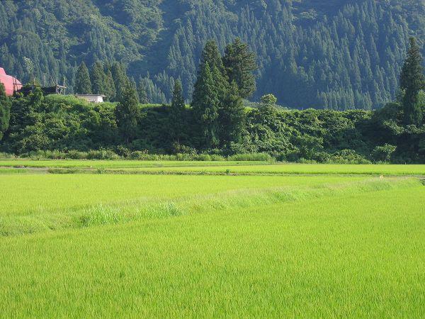 魚沼産コシヒカリの田んぼは日に日に涼しい朝になっています