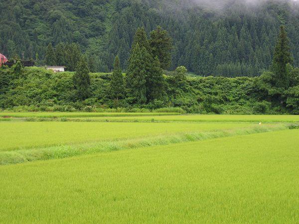今朝の魚沼産コシヒカリの田んぼは雨上がりで涼しいです