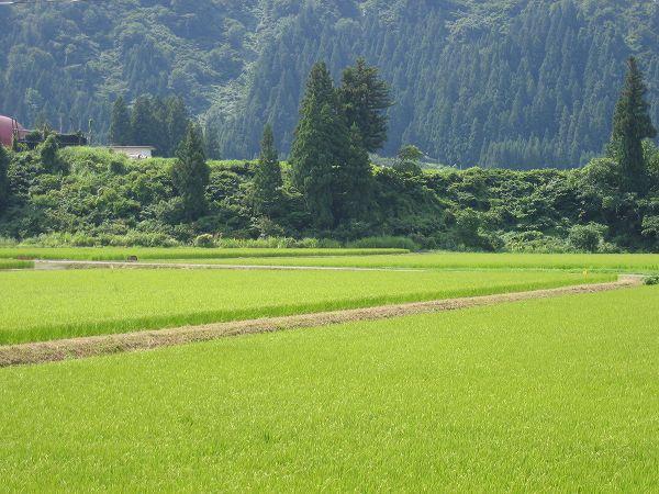 魚沼産コシヒカリの田んぼは今日も朝から暑いです