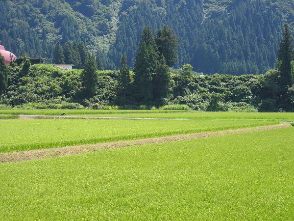 お盆を過ぎてから魚沼産コシヒカリの田んぼでは暑い日が続いています