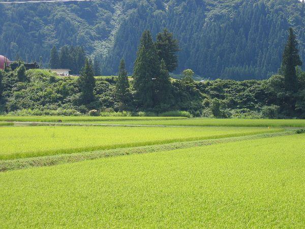 厳しい残暑が続く魚沼産コシヒカリの田んぼ