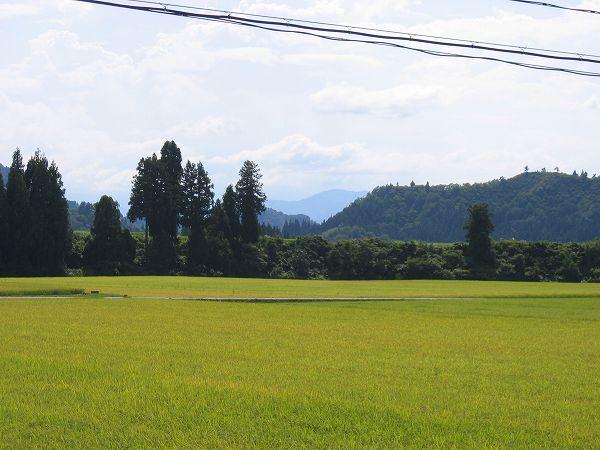 魚沼産コシヒカリの田んぼは今日もまたきびしい残暑の一日になりました