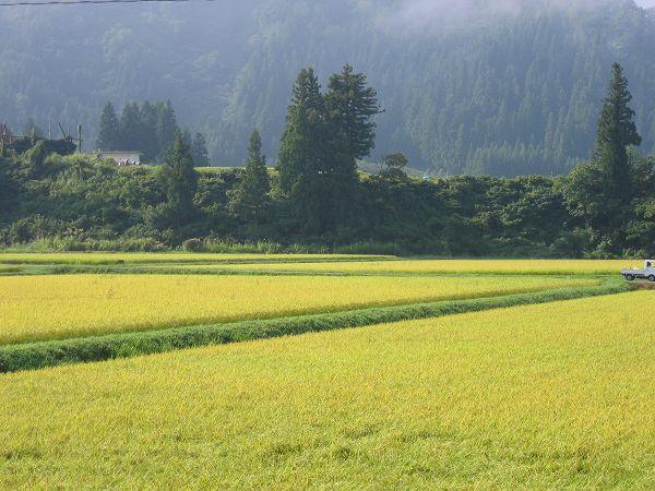 田んぼの向こうの山の霧が晴れてきました