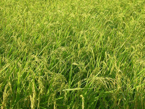 田んぼでは稲穂が重そうになってきています