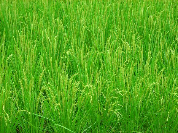 稲の育ちが早い田んぼでは、稲穂が頭を垂れ始めました