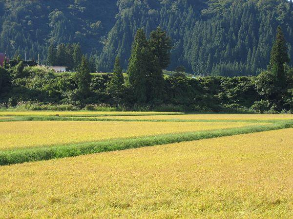 魚沼産コシヒカリの稲刈り時期が近づいてきています