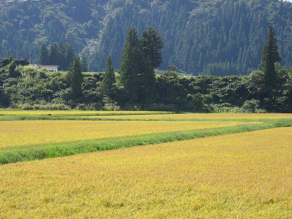 今朝も魚沼産コシヒカリの田んぼはいい天気で、暑い一日になりそうです