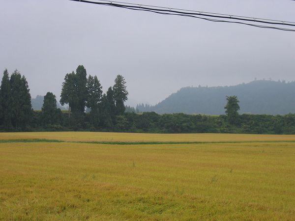 今朝の魚沼産コシヒカリの田んぼはくもりで涼しい朝です