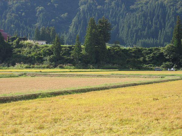 魚沼産コシヒカリの田んぼは朝から日射しが強いです