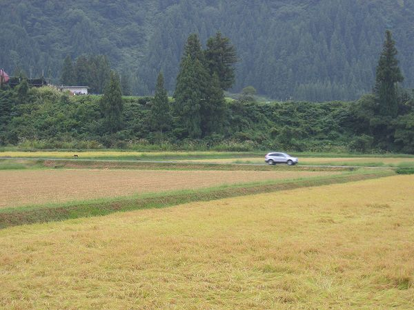 魚沼産コシヒカリの田んぼでは久しぶりに雨降りの朝を迎えています