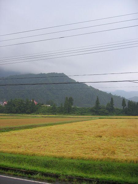 昨日に続き、今朝もまた魚沼産コシヒカリの田んぼは雨降りです