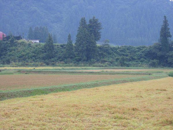 今朝もまたまた雨・・・稲刈り作業はお休みです
