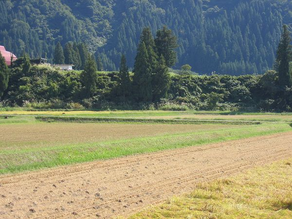 青空が広がって稲刈り日和になりました