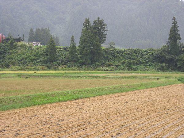 今日も魚沼産コシヒカリの田んぼは朝から雨模様です
