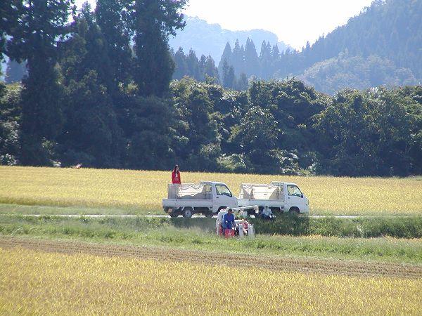 コンバインによる魚沼産コシヒカリの稲刈り作業