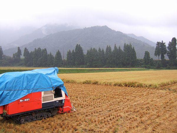 稲穂が湿っているので稲刈り作業はお休みです