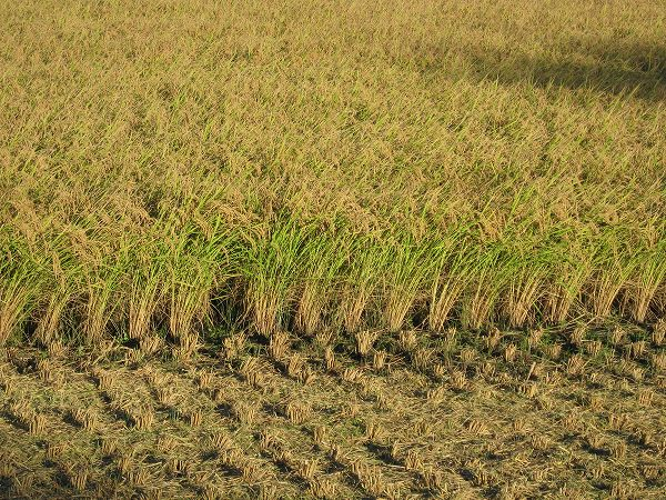 一部の田んぼでは稲刈りが行われました