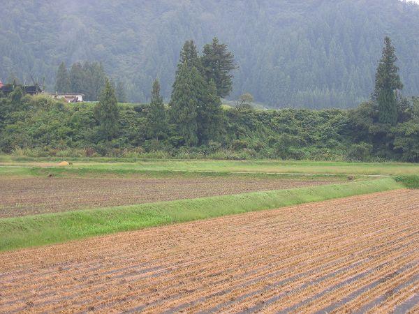 今朝の魚沼産コシヒカリの田んぼは雨上がりで少し肌寒く感じます