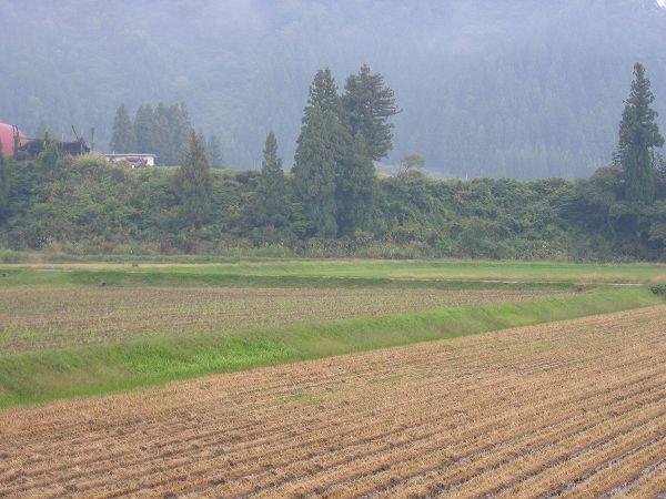 魚沼産コシヒカリの田んぼは雨降りでとても寒く感じます