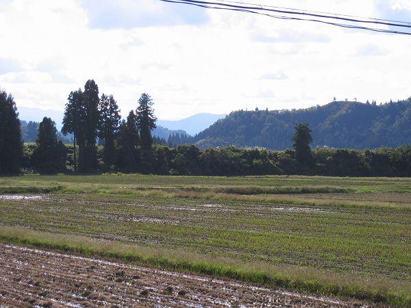 今日の魚沼産コシヒカリの田んぼはあたたかいです
