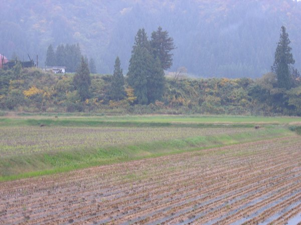 魚沼産コシヒカリの田んぼは一日中冷たい雨が降っています