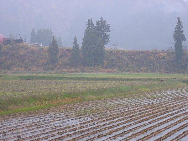 魚沼産コシヒカリの田んぼは今日もまた雨降りで寒いです