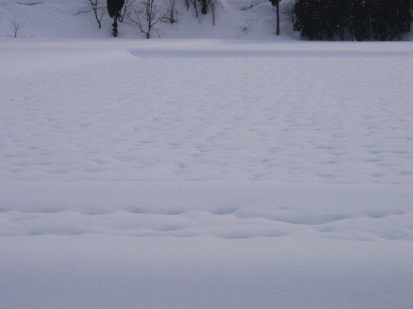 田んぼを覆っている雪面にえくぼができてきました