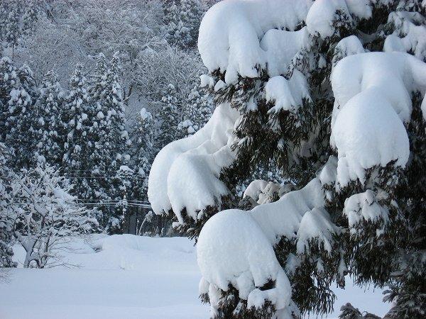 杉の木に積もった雪