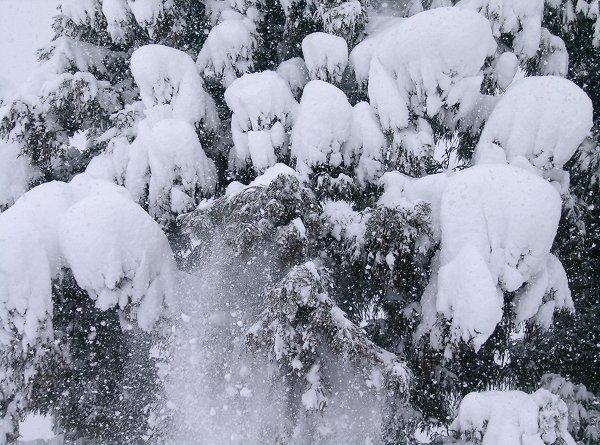 杉の木に積もった雪が落ちてきています