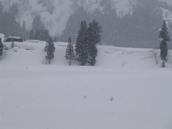 今朝の田んぼ ~ 雪がちらほらと舞っています