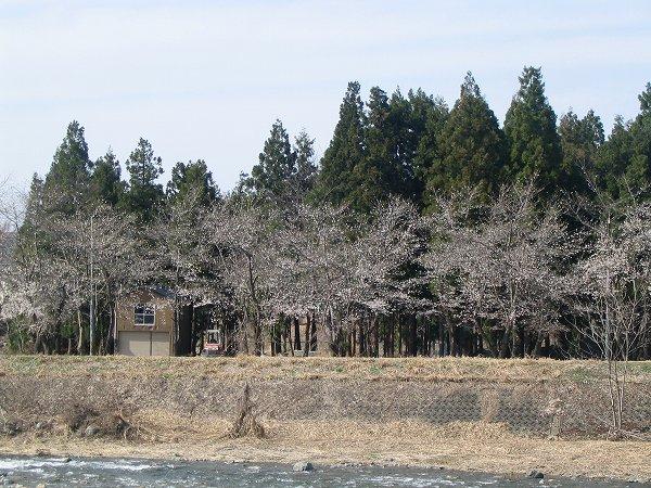 水無川の土手の桜がもうすぐ見頃を迎えます