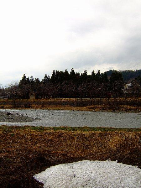 水無川の土手の桜が寒そうに見えます