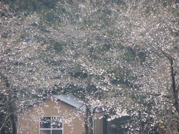 もうすぐ満開になる水無川の土手の桜