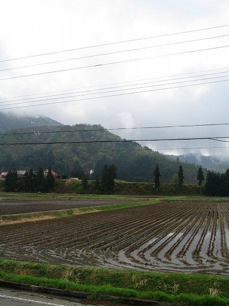 雨上がりの魚沼産コシヒカリの田んぼ