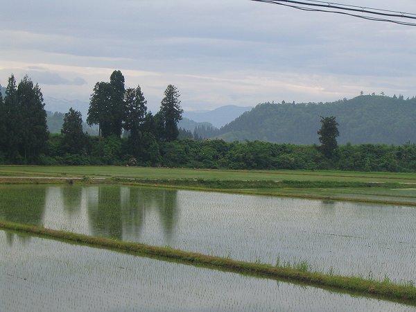 魚沼産コシヒカリの田んぼは雨降りで涼しい朝です