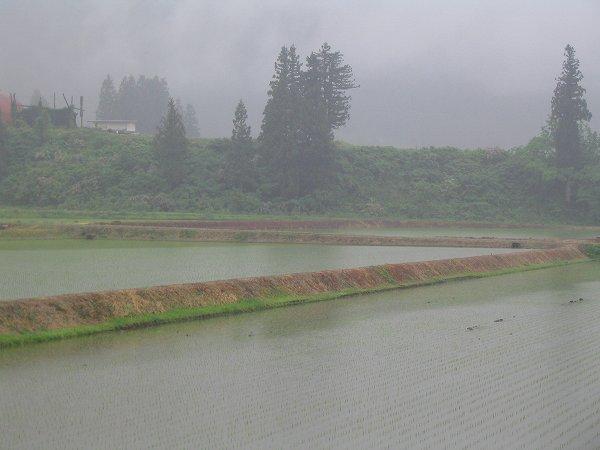 雨に煙る魚沼産コシヒカリの田んぼ