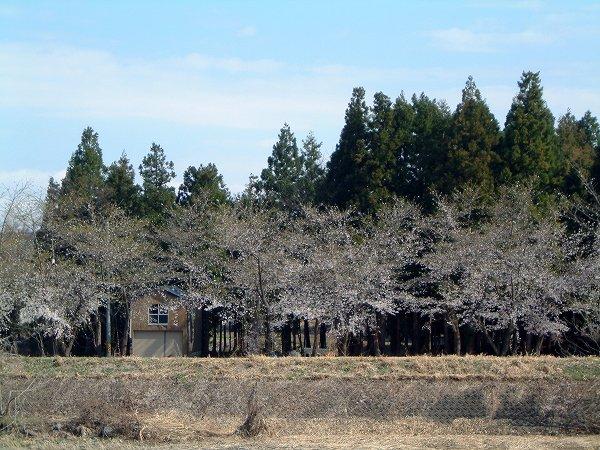 まだ水無川の桜は満開になっていません