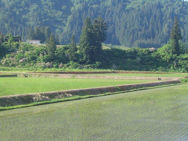 今朝の魚沼産コシヒカリの田んぼは涼しくて爽やかです