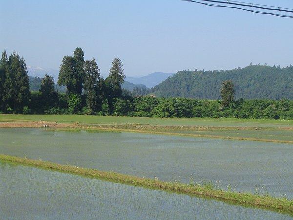 今朝も魚沼産コシヒカリの田んぼはいい天気で涼しいです