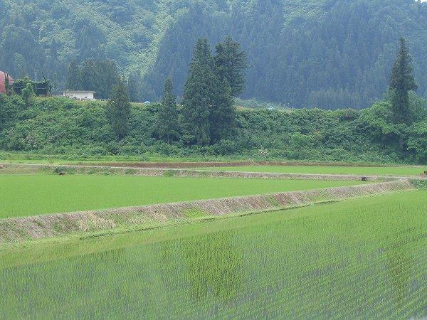激しい雷雨の翌朝の魚沼産コシヒカリの田んぼ