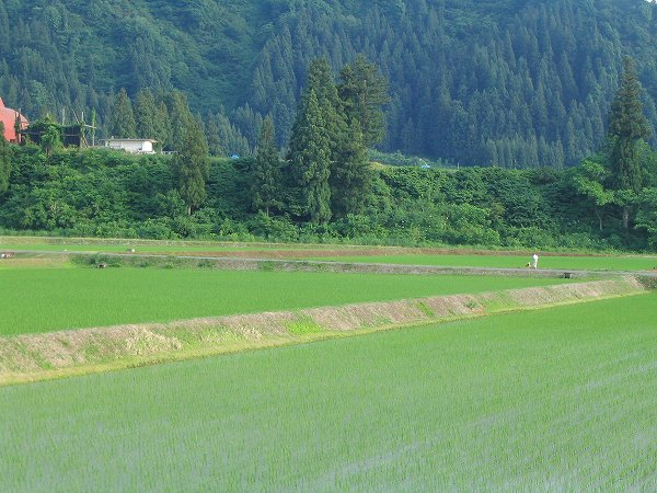 魚沼産コシヒカリの田んぼは南風が強くて暑い一日でした